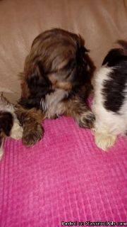 5 Beautiful Shih Tzu Puppies