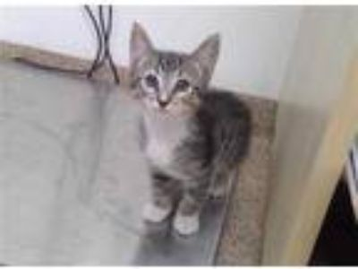 Adopt MILO a Brown Tabby Domestic Shorthair / Mixed (short coat) cat in