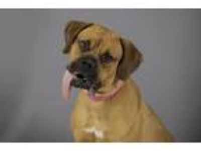 Adopt SAPHIRE a Boxer, Mixed Breed