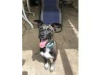 Adopt Baxter a Cattle Dog, Labrador Retriever