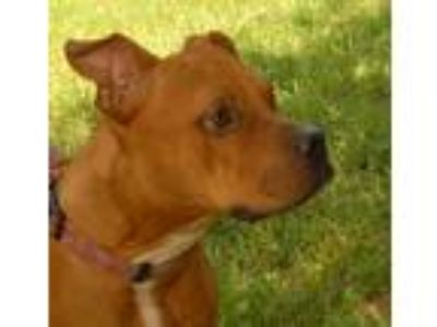 Adopt KAYLA a American Staffordshire Terrier