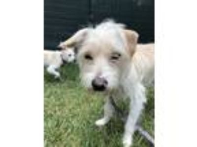 Adopt Bernie a White Terrier (Unknown Type, Small) / Mixed dog in Encino