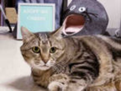 Adopt *CHERRY a Brown Tabby Domestic Shorthair / Mixed (short coat) cat in