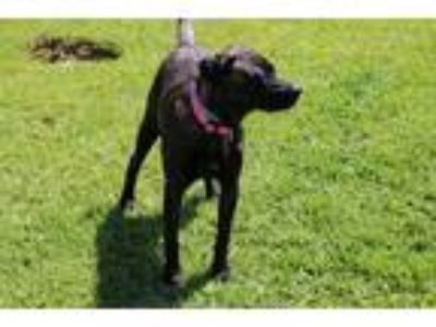 Adopt Marley Brown a Black - with Tan, Yellow or Fawn Labrador Retriever / Mixed