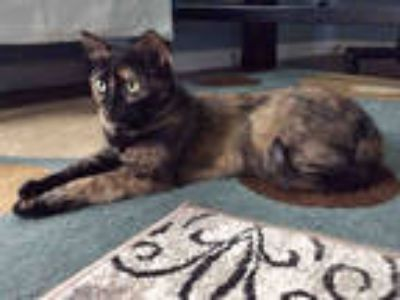 Adopt MAGGIE a Tortoiseshell Domestic Shorthair / Mixed (short coat) cat in