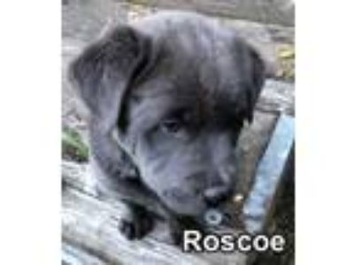 Adopt Roscoe a Chow Chow