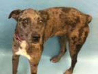 Adopt Ash a Catahoula Leopard Dog, Mixed Breed