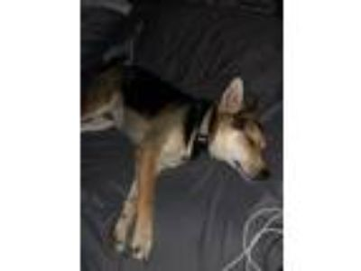 Adopt Muno a Black - with Tan, Yellow or Fawn Jack Russell Terrier / Pomeranian