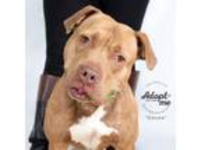 Adopt Coco a Brown/Chocolate American Pit Bull Terrier / Mixed dog in