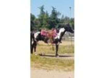 Super flashy well broke pinto gelding