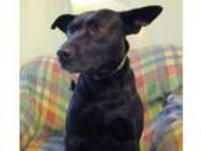 Adopt Pepper a Black - with Brown, Red, Golden, Orange or Chestnut Labrador