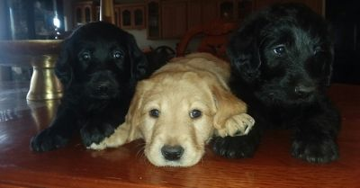 Labradoodle PUPPY FOR SALE ADN-94155 - wonderful temperment trained puppies