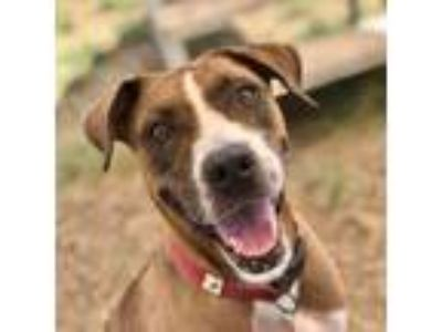 Adopt Brownie a Brown/Chocolate American Staffordshire Terrier / Mixed dog in