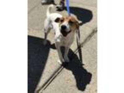 Adopt Izzy a Jack Russell Terrier / Dachshund / Mixed dog in New Orleans