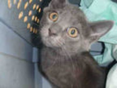 Adopt LARRY a Gray or Blue Domestic Shorthair / Mixed (short coat) cat in Los