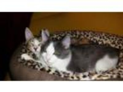 Adopt Calli & Lil Bit a Domestic Short Hair