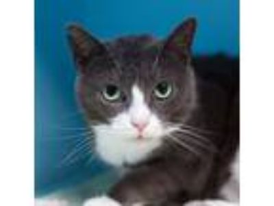 Adopt Mr. Grey a Domestic Short Hair