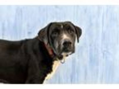 Adopt Blackjack a Cattle Dog, Great Pyrenees