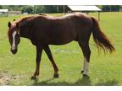 Adopt #752 a Chestnut/Sorrel Morgan / Mixed horse in Ocala, FL (23953260)