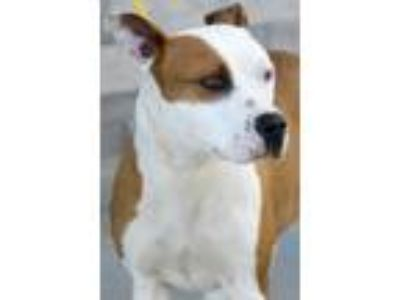 Adopt sweet pea/jagger a Pit Bull Terrier / Mixed dog in Johnson City