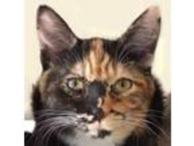 Adopt Patches a Calico or Dilute Calico Calico / Mixed (short coat) cat in