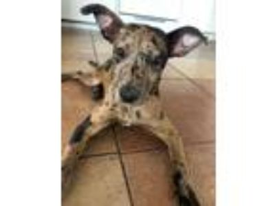 Adopt Espresso Bean a Catahoula Leopard Dog / Mixed dog in Tucson, AZ (25303293)