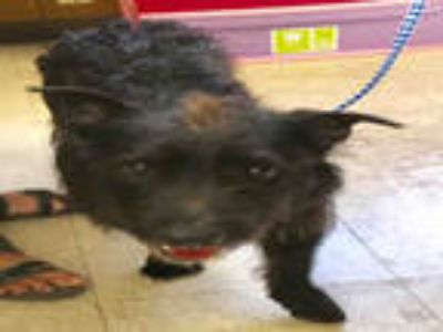 Adopt ROSIE a Black - with White Schnauzer (Standard) / Scottie