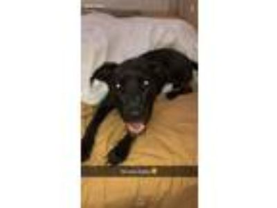 Adopt Tyson a Black - with White Labrador Retriever / Boxer dog in Morgan Hill