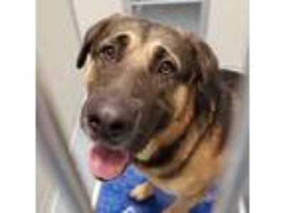 Adopt Hank a Brown/Chocolate Shepherd (Unknown Type) / Labrador Retriever /