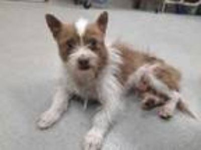 Adopt 41719606 a White Cairn Terrier / Mixed dog in Mesquite, TX (25314573)