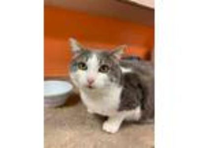 Adopt Norma a Gray or Blue Domestic Shorthair / Mixed cat in Benton