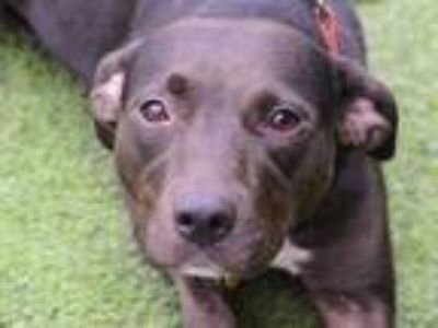 Adopt NOVA ANN a Black - with White American Pit Bull Terrier / Mixed dog in