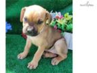 Akc Cane Corso - For Sale Classified Ads - Claz org