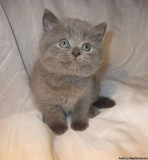Sweet British Shorthair kittens available for adoption.