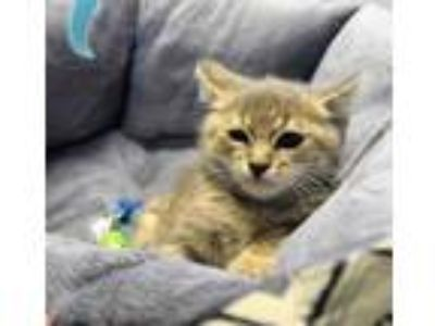 Adopt 41950743 a Gray or Blue Domestic Shorthair / Domestic Shorthair / Mixed