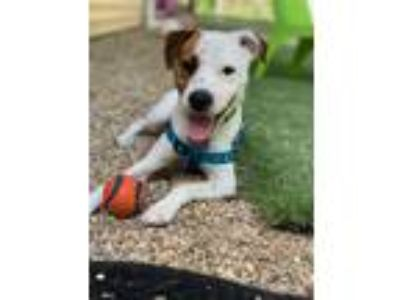 Adopt Doc a Jack Russell Terrier