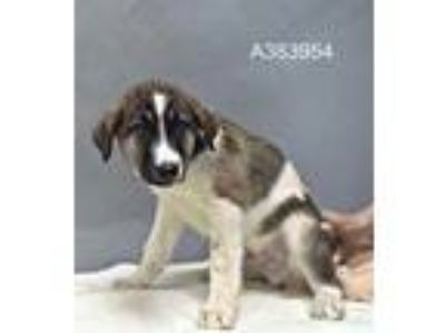 Adopt THOR a Tricolor (Tan/Brown & Black & White) Anatolian Shepherd / Mixed dog