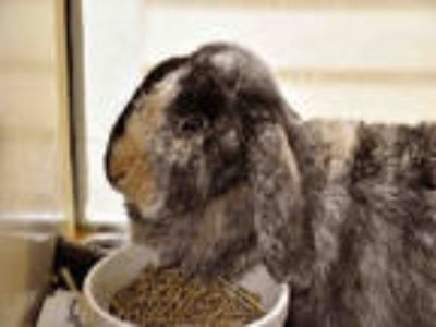 Adopt CINNAMON a Tri-color Other/Unknown / Mixed rabbit in Ft Lauderdale