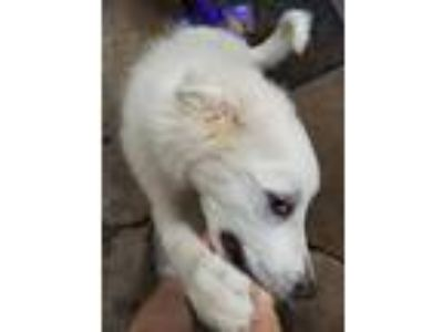 Adopt Charlie Dean a White Great Pyrenees / Mixed Breed (Large) / Mixed dog in