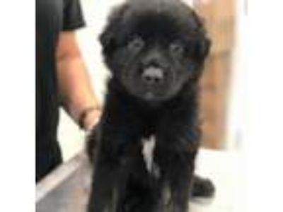 Adopt Aster a Black Shepherd (Unknown Type) dog in Clarksdale, MS (25904111)