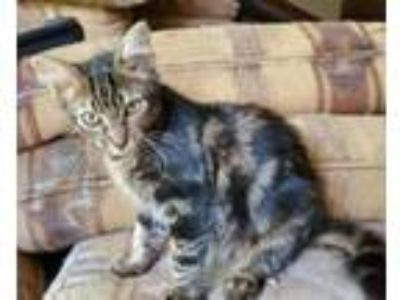 Adopt Bishop-kitty a Tabby
