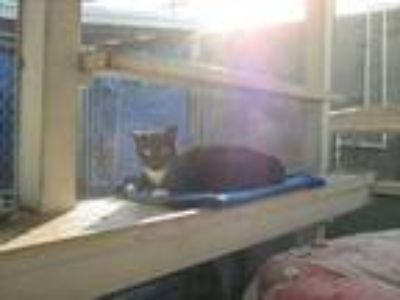 Adopt Kado a Domestic Short Hair