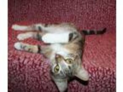 Adopt Emily a Gray or Blue Bengal (short coat) cat in marionville, MO (24857935)