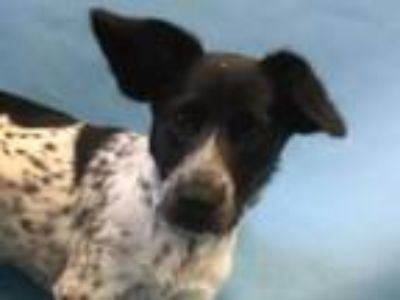 Adopt Kate a Collie, Cattle Dog