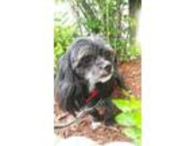 Adopt Chacho a Black Shih Tzu / Mixed dog in Justin, TX (25299445)
