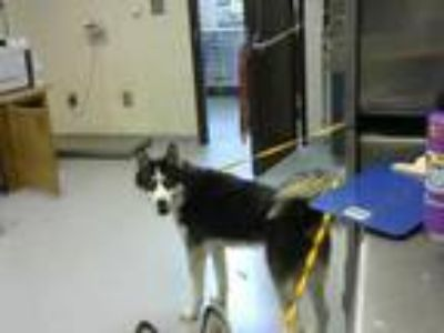 Adopt SMITH a Black - with White Husky / Mixed dog in Fayetteville