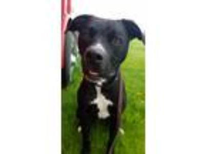 Adopt Sammie a Black - with White Boxer / Labrador Retriever / Mixed dog in
