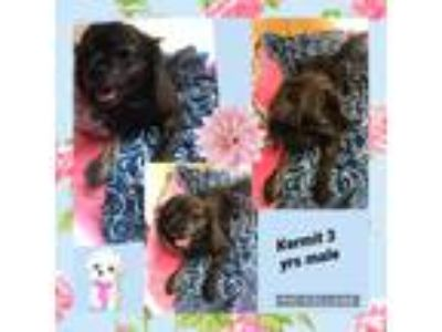 Adopt Kermit a Brindle Spaniel (Unknown Type) / Mixed dog in Corinth