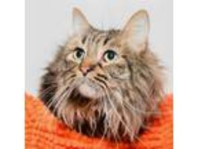 Adopt Monsieur Fluffikins a Brown or Chocolate Domestic Longhair / Mixed cat in