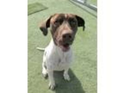 Adopt Fig Newton a White - with Brown or Chocolate German Shorthaired Pointer /